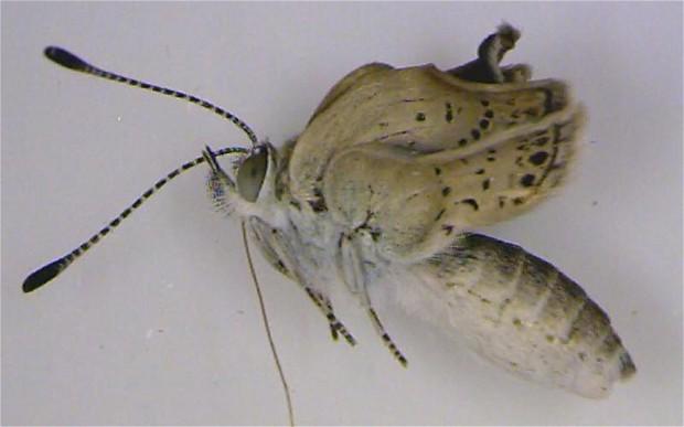 Μεταλλαγμένες πεταλούδες πετούν στη Φουκουσίμα