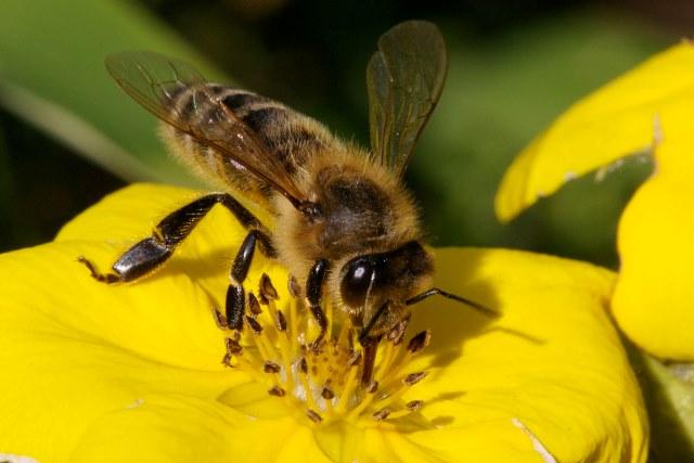 Έλλειψη Μελισσών στην Ευρώπη