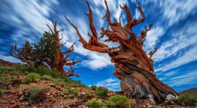 pinus-longaeva-tree