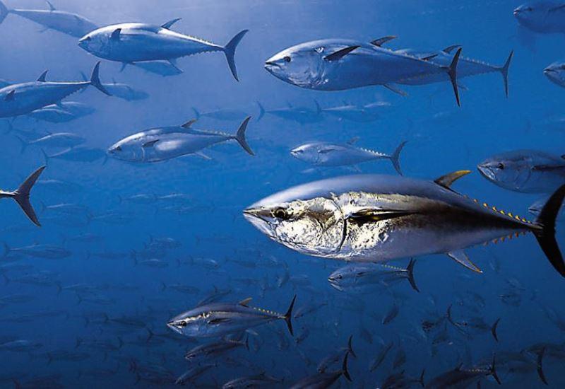 Μεσόγειος: Υπό εξαφάνιση τα περισσότερα είδη μεγάλων ψαριών