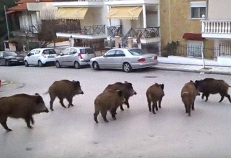 Θεσσαλονίκη: Σύσκεψη για το πρόβλημα της αύξησης των αγριόχοιρων