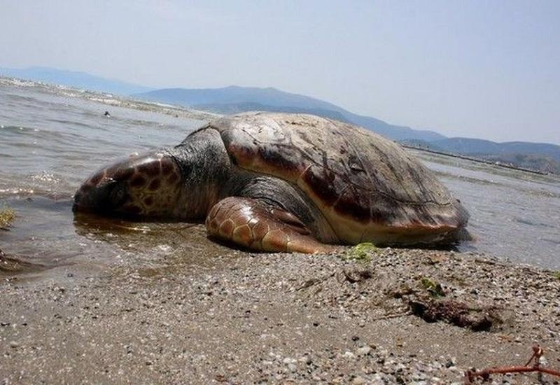 Περισσότερες από τις μισές θαλάσσιες χελώνες τρώνε πλαστικό