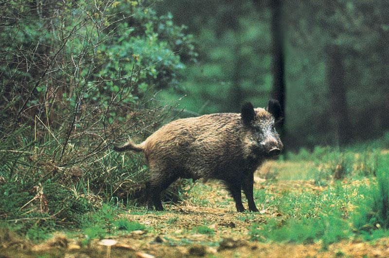 Υπεγράφη η Υπουργική Απόφαση για ημίαιμους χοίρους και αγριόχοιρους
