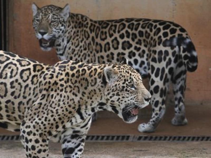 Στην αντεπίθεση το Αττικό Πάρκο για το σκηνικό με τα τζάγκουαρ