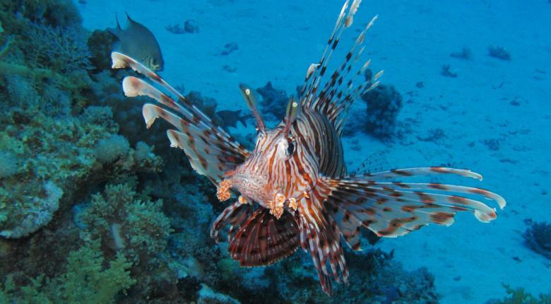 Bild: «Τα λεοντόψαρα θα γίνουν πληγή για τη Μεσόγειο»