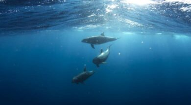 dolphins-918752_1280